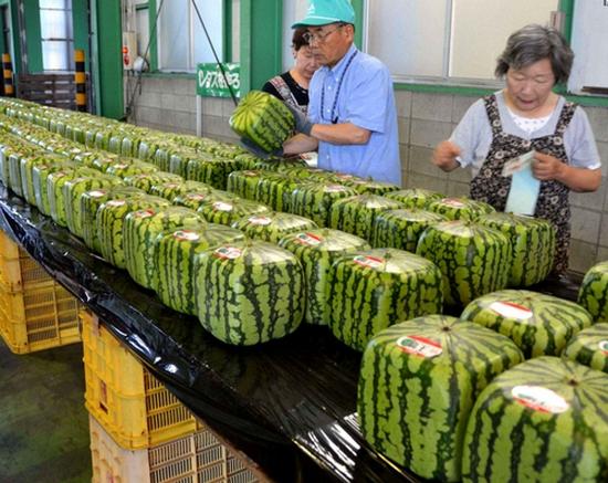 Name:  square-melons.jpg Views: 1040 Size:  246.3 KB