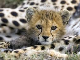 Name:  cheetah.jpg Views: 583 Size:  9.9 KB